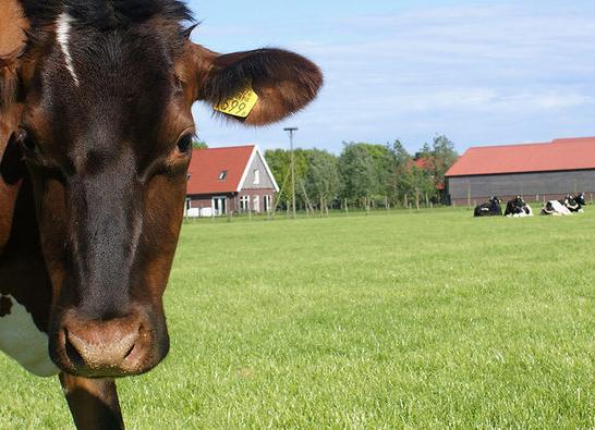 Boerderij Het Lansingerland met koe1
